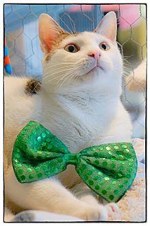 Domestic Shorthair Cat for adoption in Freeport, New York - Jayel