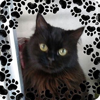 Persian Cat for adoption in Pueblo West, Colorado - Spook