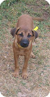 Labrador Retriever/German Shepherd Dog Mix Puppy for adoption in Olympia, Washington - Ellie Mae