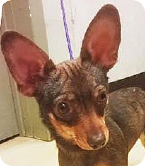 Chihuahua Mix Dog for adoption in Spokane, Washington - June Bug