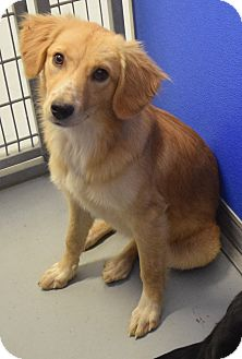 Golden Retriever/Collie Mix Puppy for adoption in Hartford, Kentucky - Syndra