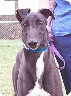 Greyhound Dog for adoption in Randleman, North Carolina - Hogan