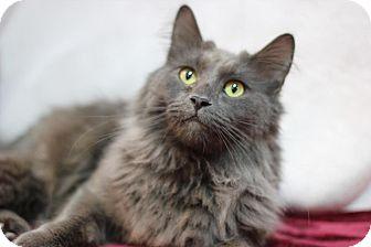 Domestic Longhair Cat for adoption in Midland, Michigan - Klaus