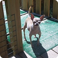 Chihuahua Mix Dog for adoption in Homosassa, Florida - Simon