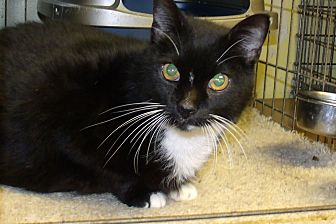 Domestic Shorthair Cat for adoption in Acme, Pennsylvania - ROCKY