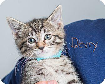 Domestic Shorthair Kitten for adoption in Somerset, Pennsylvania - Devry