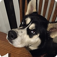Adopt A Pet :: Shadow - Plano, TX