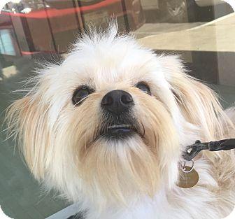 Maltese/Poodle (Miniature) Mix Dog for adoption in San Marcos, California - Mia