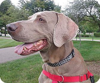 Weimaraner Dog for adoption in Grand Haven, Michigan - Milo