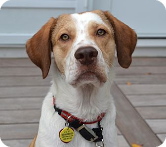Pointer/Labrador Retriever Mix Dog for adoption in Westport, Connecticut - *Cypress - PENDING
