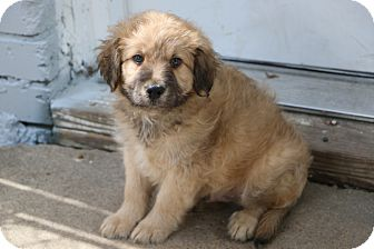 Labrador Retriever/Golden Retriever Mix Puppy for adoption in Norwalk, Connecticut - Eisenhower