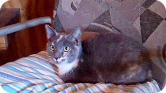 Domestic Shorthair Kitten for adoption in Monterey, Virginia - Susan Constance $35 adoption