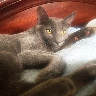 Russian Blue Kitten for adoption in Orange, California - Angel Eyes