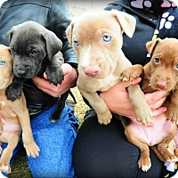 Adopt A Pet :: Diamond's Puppies - Reisterstown, MD