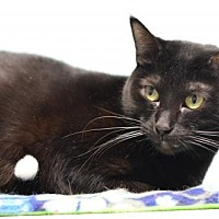 Domestic Shorthair Cat for adoption in Atlanta, Georgia - Creola151533