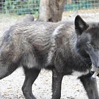 Adopt A Pet :: Wolfdogs - Gemini and Kalani - Orlando, FL