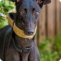 Adopt A Pet :: True - Walnut Creek, CA