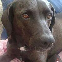 Labrador Retriever/Plott Hound Mix Dog for adoption in Elyria, Ohio - Abby