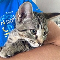 Adopt A Pet :: Puddles - LaGrange Park, IL