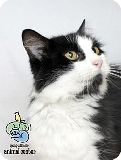 Domestic Mediumhair Cat for adoption in Knoxville, Tennessee - Jester