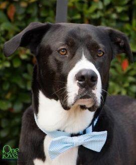 Labrador Retriever Mix Dog for adoption in Savannah, Georgia - Atlas