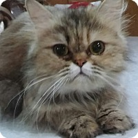 Adopt A Pet :: Tabitha (pure-bred Persian) - Witter, AR