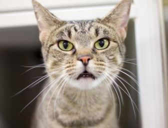 Domestic Shorthair/Domestic Shorthair Mix Cat for adoption in Independence, Missouri - Zara