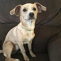 Adopt A Pet :: Juniper 6 Months - C/S & Denver Metro, CO