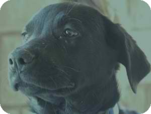 Golden Retriever/Labrador Retriever Mix Dog for adoption in Anza, California - Linda Ray #4