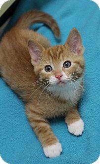 Domestic Shorthair Kitten for adoption in Chicago, Illinois - Finbar