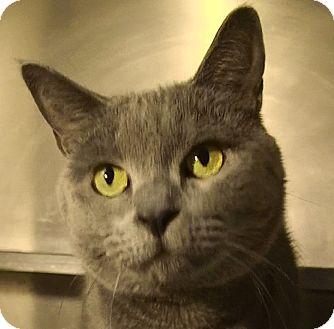 Domestic Shorthair Cat for adoption in El Cajon, California - Skyler