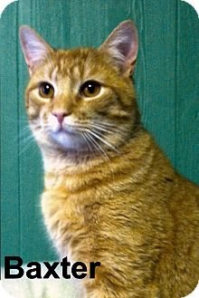 Domestic Shorthair Cat for adoption in Medway, Massachusetts - Baxter