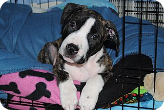 American Staffordshire Terrier/Boxer Mix Puppy for adoption in Shrewsbury, New Jersey - Buzz