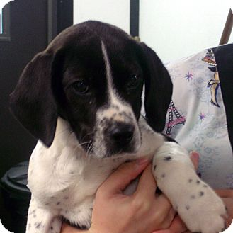 Boxer/Treeing Walker Coonhound Mix Puppy for adoption in Greencastle, North Carolina - Petro