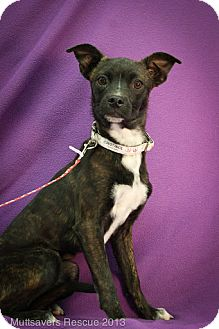Boston Terrier/Cattle Dog Mix Puppy for adoption in Broomfield, Colorado - Constance