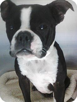 Boston Terrier Mix Dog for adoption in Germantown, Ohio - Miss Yoda