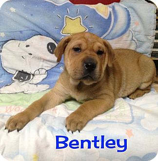 Shar Pei Mix Puppy for adoption in Houston, Texas - Bentley