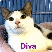 Adopt A Pet :: Diva - Medway, MA