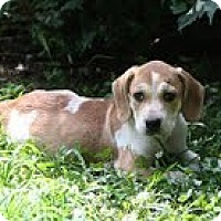 Adopt A Pet :: Eeyore - Staunton, VA