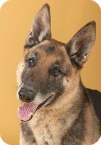 German Shepherd Dog Dog for adoption in Chicago, Illinois - Jerry
