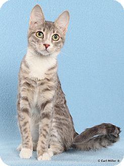 Domestic Shorthair Kitten for adoption in Las Vegas, Nevada - Queso