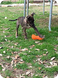 Plott Hound Mix Puppy for adoption in Austin, Texas - Rowdy