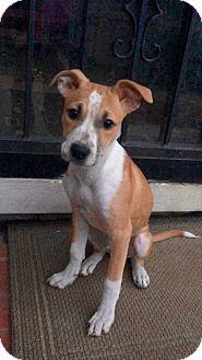 Feist/Beagle Mix Puppy for adoption in Fishkill, New York - SARA