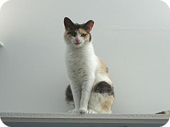 Domestic Shorthair Cat for adoption in Belleville, Michigan - Rainbow