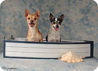 Chihuahua Mix Dog for adoption in Las Vegas, Nevada - Honey