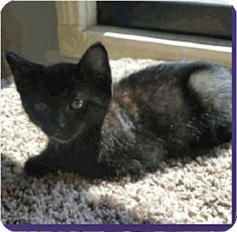 Domestic Shorthair Kitten for adoption in Colorado Springs, Colorado - Fila