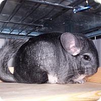 Adopt A Pet :: Eevee - Avondale, LA