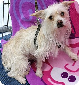Cairn Terrier/Terrier (Unknown Type, Small) Mix Puppy for adoption in Phoenix, Arizona - Jerry