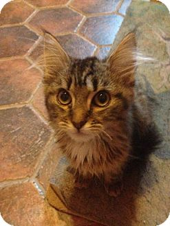 Maine Coon Kitten for adoption in Absecon, New Jersey - Kalina