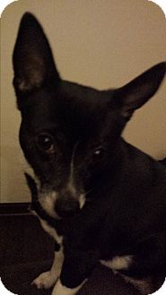 Chihuahua Mix Dog for adoption in Hollis, Maine - Soxie (quiet home only)